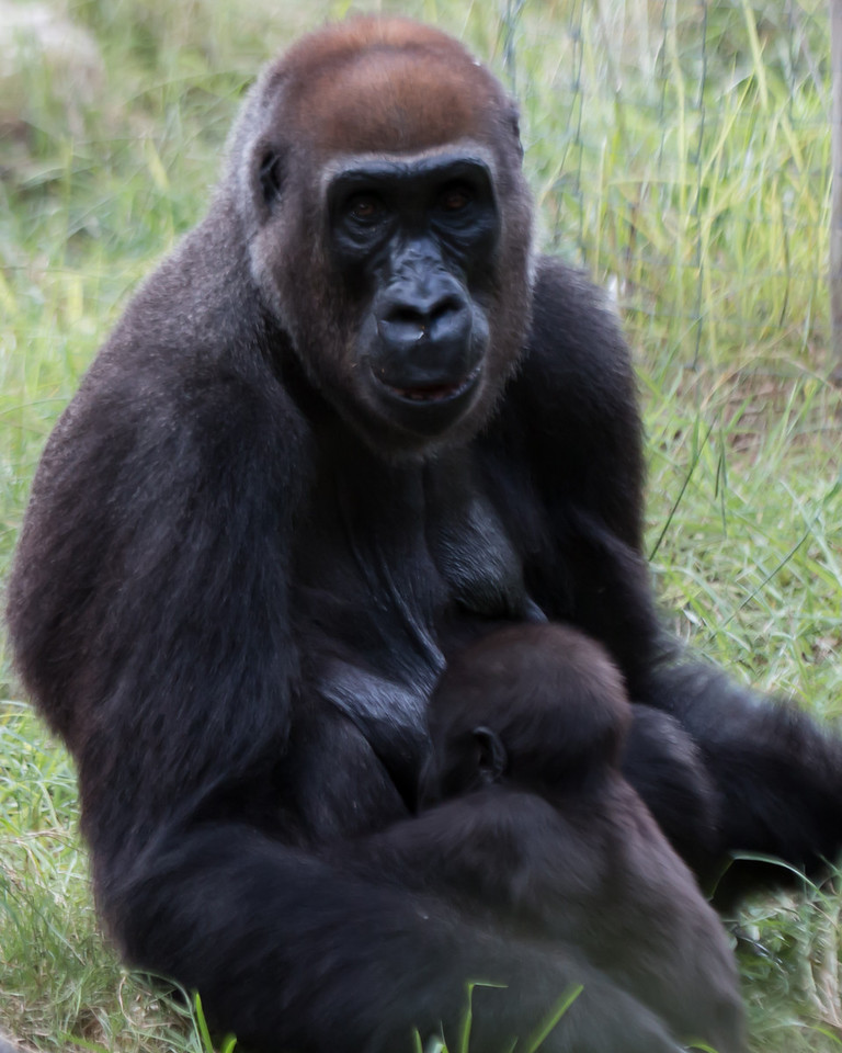 Nursing baby gorilla