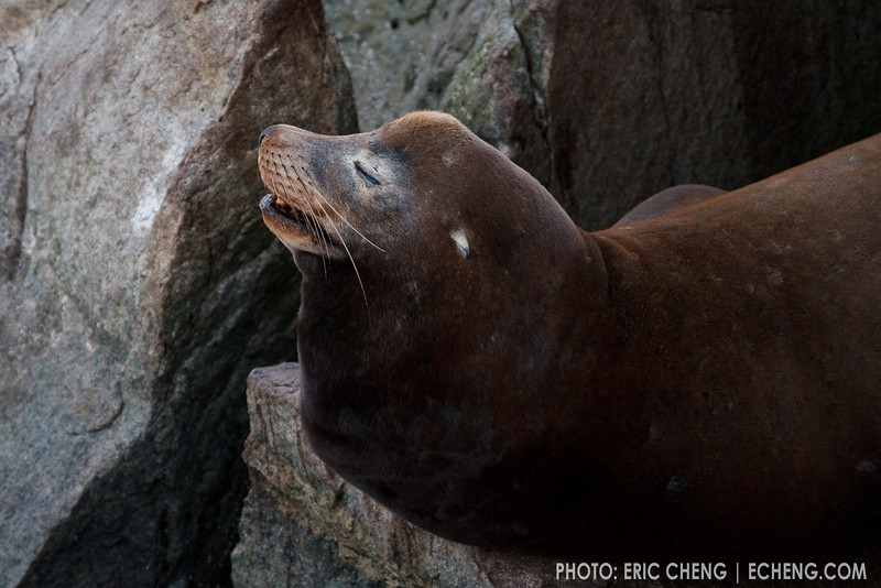 California sea lion (Zalophus californianus) in Monterey