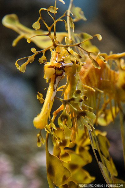 Weedy seadragon (Phyllopteryx taeniolatus) at Monterey Bay Aquarium