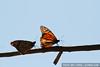 Monarch butterflies (Danaus plexippus) in Pacific Grove (October 31, 2010)