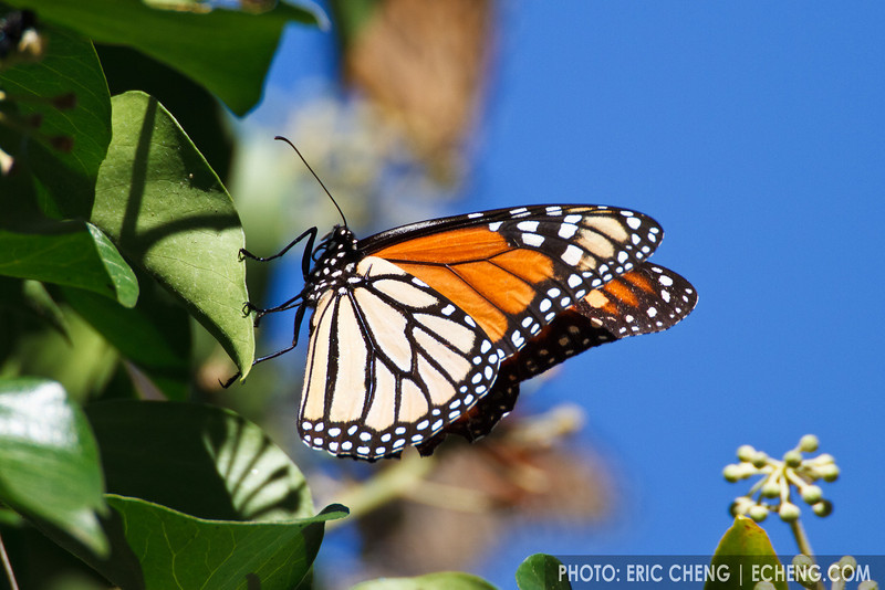 Monarch butterflies feed in a tree (Danaus plexippus) in Pacific Grove (October 31, 2010)