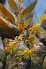 Weedy seadragons (Phyllopteryx taeniolatus) at Monterey Bay Aquarium