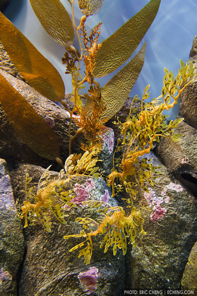 Weedy seadragons (Phyllopteryx taeniolatus) at Monterey Bay Aquarium