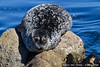 Harp seal (Phoca groenlandica) in Pacific Grove, CA