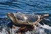 Harp seal (Phoca groenlandica) in Pacific Grove, CA