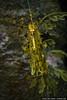 Weedy seadragon (Phyllopteryx taeniolatus) at Monterey Bay Aquarium