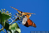 Monarch butterflies feed in a tree (Danaus plexippus) in Pacific Grove (October 31, 2010)