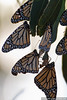 Monarch butterflies (Danaus plexippus) in Pacific Grove (October 31, 2010)