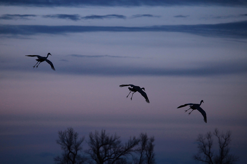 "WEDNESDAY, APRIL 1, 2009<br /> <br /> NEBRASKA 7616<br /> <br /> ""Low-light landing""<br /> <br /> Well, I spent a full day and a half photographing the cranes. I was in Nebraska in mid-March last year, and hit the migration during its peak, when there were about 500,000 cranes in the area. There were a lot fewer birds this year, since I'm a couple of weeks later than I was last year, but the numbers were still impressive. I just got in from a guided tour to one of the photo blinds at the Rowe Sanctuary ( <a href=""http://www.rowesanctuary.org"">http://www.rowesanctuary.org</a>). The guided tours at the sanctuary never disappoint. If you ever come to Nebraska looking for cranes, your first stop should be the Rowe Sanctuary. Sign up for a sunrise or sunset tour to one of the photo blinds, then ask one of the staff where the best places are during the day to look for cranes. The staff are very knowledgeable and helpful. <br /> <br /> Camera: Canon EOS 5D Mark II<br /> Lens: Canon EF 100-400mm<br /> Focal length: 250mm<br /> Shutter speed: 1/250<br /> Aperture: f/5<br /> ISO: 1600"