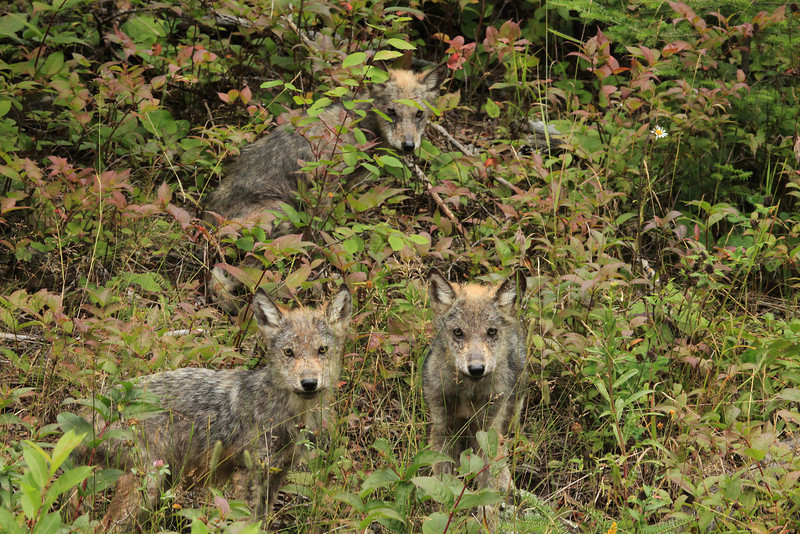 "WEDNESDAY, AUGUST 19, 2009<br /> <br /> WOLVES 4885<br /> <br /> Well... today I saw something that I thought I would never see... an entire family of wild wolf pups! I was driving along Old Highway 61 when I saw a young wolf come out onto the road a few hundred feet ahead of me. I stopped the car, and the little wolf just stood there staring at me. After a few moments passed, two more came out onto the road, then another. I could hear at least two more a few feet back in the woods. They were apparently used to cars, because they weren't scared at all by my vehicle. I rolled down my window and was able to shoot several ""keeper"" images of the pups as they sat in the ditch next to the road. After about 15 minutes of watching them I continued down the road, giddy with excitement at the experience of seeing the wolves. <br /> <br /> Camera: Canon EOS 5D Mark II<br /> Lens: Canon EF 100-400mm<br /> Focal length: 210mm<br /> Shutter speed: 1/160<br /> Aperture: f/16<br /> ISO: 1600"