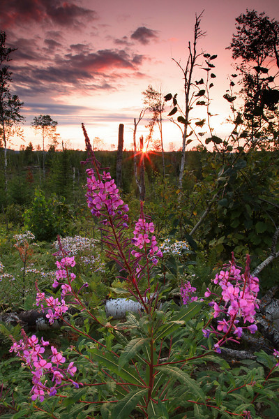 "FRIDAY, AUGUST 28, 2009<br /> <br /> FOREST 5352<br /> <br /> ""Fireweed Sunset""<br /> <br /> I was driving through a logging cut when I saw this nice patch of fireweed. I only had to wait about 10 minutes for the sun to drop to the horizon in order to make this image. <br /> <br /> Camera: Canon EOS 5D Mark II<br /> Lens: Canon EF 24-105mm<br /> Focal length: 28mm<br /> Shutter speed: 0.4 sec<br /> Aperture: f/22<br /> ISO: 800"