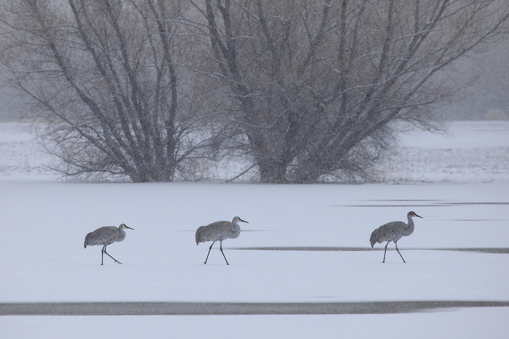 "THURSDAY, DECEMBER 31, 2009<br /> <br /> BOSQUE DEL APACHE 4155<br /> <br /> ""Morning stroll in the snow""<br /> <br /> These cranes were out for a morning walk on one of the frozen ponds. After watching them for about a half hour, they began to take off one by one from the ice. <br /> <br /> Camera: Canon EOS 5D Mark II<br /> Lens: Canon EF 100-400mm<br /> Focal length: 400mm<br /> Shutter speed: 1/800<br /> Aperture: f/10<br /> ISO: 800"