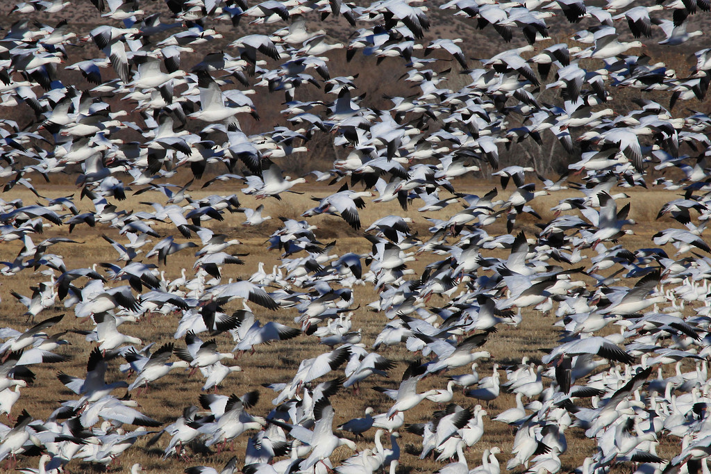 "THURSDAY, DECEMBER 31, 2009<br /> <br /> BOSQUE DEL APACHE 4641<br /> <br /> ""Snow Geese Blast-Off!""<br /> <br /> A typical ""blast-off"" of Snow Geese at the refuge. When the geese fly out from the refuge, they usually do so in one large group. When an entire field full of these birds decides to take flight all at the same time, it is quite a sight to see. Its also really something to hear the birds when they all take flight. The whole experience is unforgettable.<br /> <br /> Camera: Canon EOS 5D Mark II<br /> Lens: Canon EF 100-400mm<br /> Focal length: 400mm<br /> Shutter speed: 1/800<br /> Aperture: f/22<br /> ISO: 800"