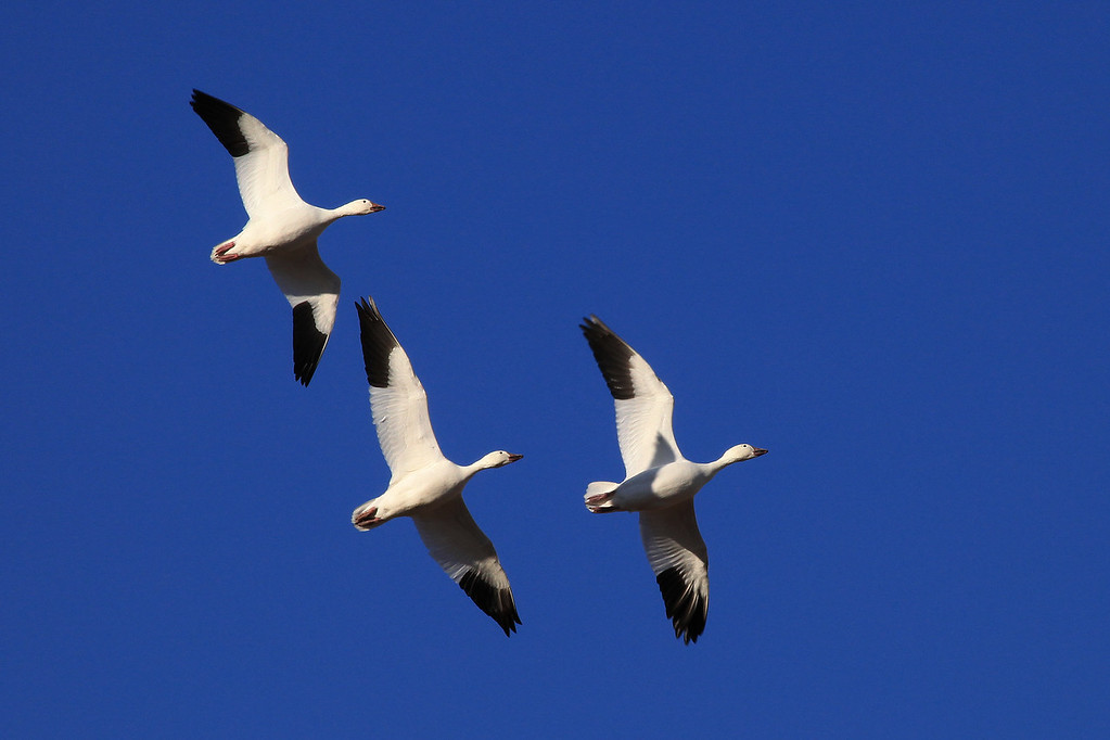 "THURSDAY, DECEMBER 31, 2009<br /> <br /> BOSQUE DEL APACHE 4625<br /> <br /> ""Flight Training""<br /> <br /> This trio of snow geese flew over us several times as they looped around the farm deck field. Most of the time it seemed as though the two geese behind were chasing the one in the front. I joked with my friend Roger that the one in front was probably the ""flight instructor"", and was teaching the two behind him how to follow and stay in formation :-)<br /> <br /> Camera: Canon EOS 5D Mark II<br /> Lens: Canon EF 100-400mm<br /> Focal length: 400mm<br /> Shutter speed: 1/400<br /> Aperture: f/22<br /> ISO: 800"
