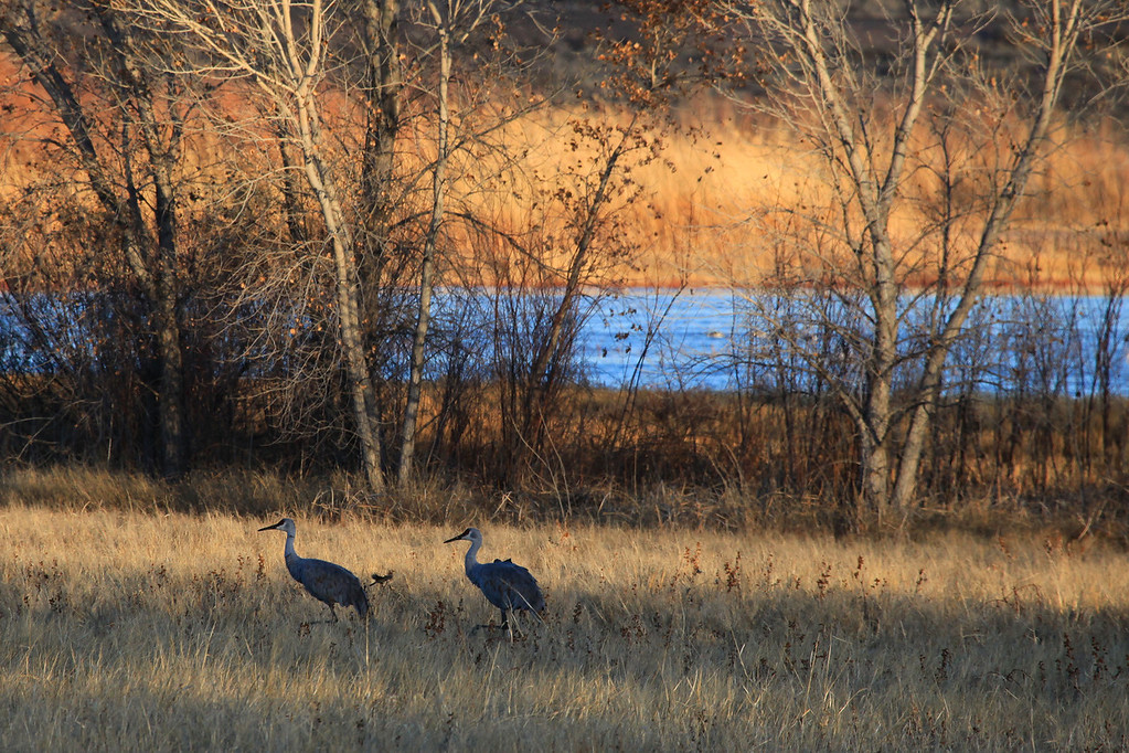 "THURSDAY, DECEMBER 31, 2009<br /> <br /> BOSQUE DEL APACHE 4586<br /> <br /> ""A pair of Sandhills""<br /> <br /> Bosque del Apache was my first exposure to Sandhill Cranes and Snow Geese. Before my visit in late 2004, I had never seen either of these birds. Since then, I have been to Nebraska several times to witness the massive gathering that occurs there every spring. Sandhill Cranes are amazing birds, and I don't think I will ever tire of seeing them. Sandhill Cranes have one of the longest fossil histories of any existing bird. The oldest Sandhill Crane fossil is about 2.5 million years old, over one and a half times older than the earliest remains of most living species of birds!<br /> <br /> Camera: Canon EOS 5D Mark II<br /> Lens: Canon EF 100-400mm<br /> Focal length: 400mm<br /> Shutter speed: 1/640<br /> Aperture: f/9<br /> ISO: 800"