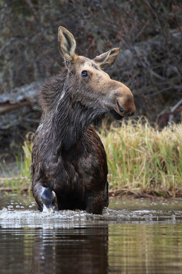 """WEDNESDAY, APRIL 28, 2010<br /> <br /> MOOSE 8373<br /> <br /> """"Wading Moose""""<br /> <br /> These images were taken on the Pigeon River in northeast Minnesota. The Pigeon River forms the border between northeast Minnesota and Ontario, Canada. I work at a state park that is right on the river, and during my shift at work I noticed there was this moose hanging around most of the afternoon on the river. After work that evening I brought my kayak out on the river and was able to get fairly close to this moose for several shots. This moose was actually suffering quite badly from brain worm, and as a result more often than not the moose was swimming in circles out in the middle of the river. Every once in a while she would get out on shore and walk around a little, but always she returned to the river and whenever she did she would end up swimming in circles. I notified the local wildlife biologist and told him I would check again in the morning to see if she was still around. The next morning before work I again brought my kayak out on the river but after searching upstream and down she was nowhere to be found, and hasn't been seen since. These images were shot from my kayak from about 40 feet away using my Canon EF 100-400mm lens. <br /> <br /> Camera: Canon EOS 5D Mark II<br /> Lens: Canon EF 100-400mm<br /> Focal length: 400mm<br /> Shutter speed: 1/200<br /> Aperture: f/5.6<br /> ISO: 800"""
