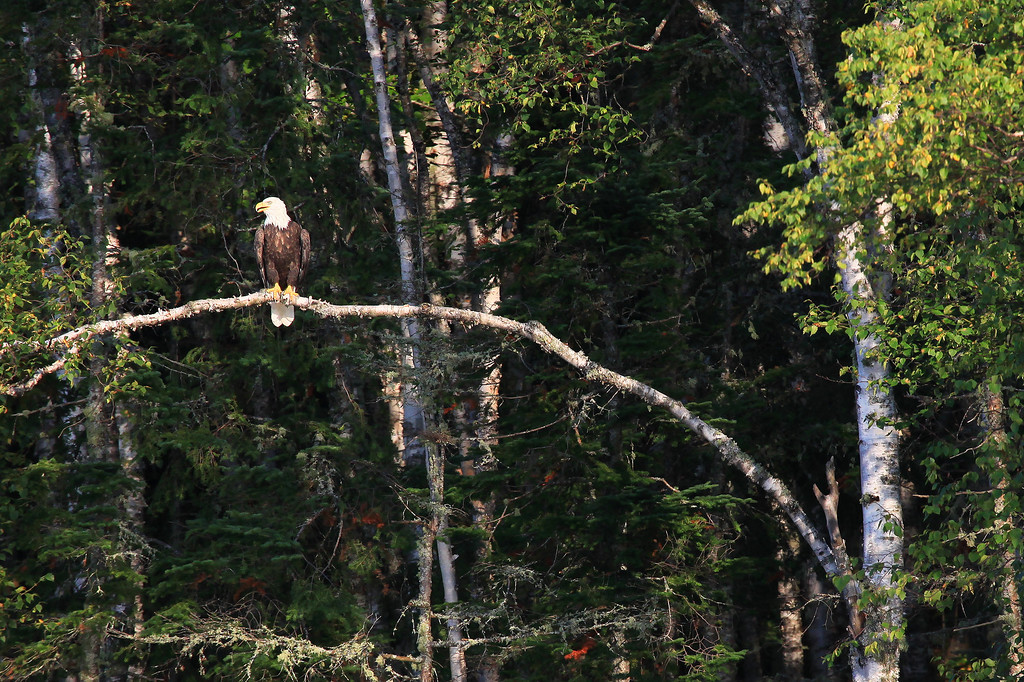 "MONDAY, AUGUST 23, 2010<br /> <br /> BALD EAGLE 9684<br /> <br /> ""Eagle near the mouth of the Pigeon River""<br /> <br /> During last night's boating venture out into Pigeon Bay, we saw a Bald Eagle flying around as we neared the mouth of the river. As we approached he landed in a tree on the right side of the river. At first we couldn't see him but as we got closer he soon came into view. I got quite excited when he came into view and I saw him perched on this cool bent-over Birch branch! Lots of times when Eagles are perched in trees they either blend into the background or have lots of other branches blocking the view. This one was right in the open, with some darker shadows behind. I thought it made for a great shot.<br /> <br /> Camera: Canon EOS 5D Mark II<br /> Lens: Canon EF 100-400mm<br /> Focal length: 400mm<br /> Shutter speed: 1/800<br /> Aperture: f/10<br /> ISO: 800"