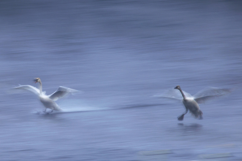 "SATURDAY, FEBRUARY 13, 2010<br /> <br /> SWANS 5660<br /> <br /> ""Swans touching down""<br /> <br /> One of my favorite things to do when photographing birds in flight is to experiment with slower shutter speeds in an attempt to create artsy blurs of the birds. This takes some practice, though. Too long of a shutter speed and the bird won't be recognizable. Not slow enough of a shutter speed, and the photo will look just like an accidental ""out of focus"" shot. When you can get the right mix of the perfect shutter speed combined with a well-timed panning motion of the camera to match the flight pattern of the bird, the results can be magical. <br /> <br /> If you're looking for a fun way to spend a winter's day, head over to Monticello to see the Swans. It is certainly one of those experiences that will be with you forever!<br /> <br /> Camera: Canon EOS 5D Mark II<br /> Lens: Canon EF 100-400mm<br /> Focal length: 400mm<br /> Shutter speed: 1/8<br /> Aperture: f/29<br /> ISO: 50"