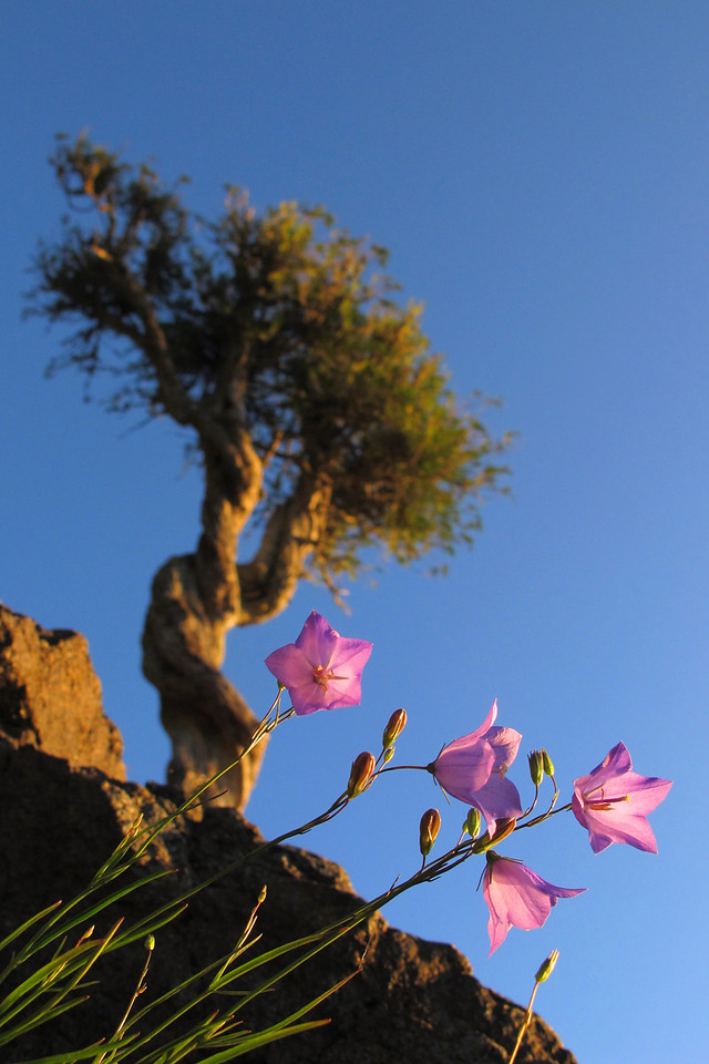 "WEDNESDAY, JULY 21, 2010<br /> <br /> SPIRIT TREE 7313<br /> <br /> ""Morning Harebells at the Spirit Tree""<br /> <br /> Sometimes it pays to force yourself to try something different. On a recent sunrise shoot at the Spirit Tree, I used only my Canon G11 point-and-shoot camera and not my usual ""big"" camera - the Canon EOS 5D Mark II. Using the G11 forces me to look for different compositions, something more ""unique"" than the typical landscape shots that I tend to look for when using the Canon 5D Mark II camera. This image is the result of that morning's search for something different. I always notice the Harebell flowers when visiting the tree in the summer, yet I've never before tried making an image that shows both the flowers and the tree. The G11 with its rotating viewfinder screen allowed me to make this image. Since the flowers were on the side of a rock and very close to the surface of the water, I don't think I would have been able to compose this shot using my bigger camera. <br /> <br /> Camera: Canon PowerShot G11<br /> Focal length: 7.41mm<br /> Shutter speed: 1/640<br /> Aperture: f/4<br /> ISO: 200"