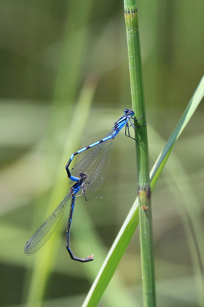 "TUESDAY, JUNE 29, 2010<br /> <br /> INSECTS 0568<br /> <br /> ""Mating Damselflies, Swamp River""<br /> <br /> I paddled 13 miles on Swamp River yesterday and saw several critters but the highlight of the day was seeing all of the damselflies in the grasses and on the lily pads along the edge of the river. They are so small, most people probably wouldn't even notice them. These little guys are only about an inch and a half long. Once you notice them, it's hard to take your eyes off them (they are also quite hard to photograph, since they usually don't sit still for very long). Adding to the difficulty was the wind. It was quite hard to capture these critters when the grasses were blowing around so much.<br /> <br /> Camera: Canon EOS 5D Mark II<br /> Lens: Canon EF 100-400mm<br /> Focal length: 400mm<br /> Shutter speed: 1/500<br /> Aperture: f/8<br /> ISO: 400"