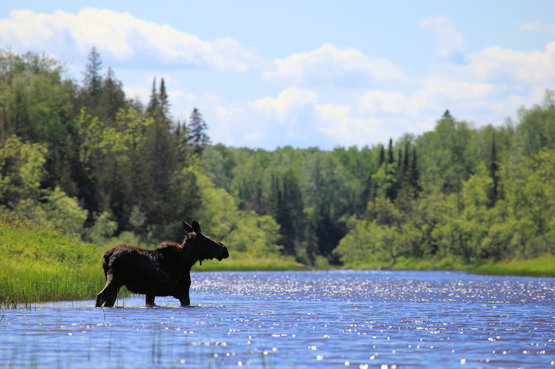"""TUESDAY, JUNE 1, 2010<br /> <br /> MOOSE 9387<br /> <br /> """"Crossing the Pigeon""""<br /> <br /> These images were taken yesterday during my paddling outing on the Pigeon River. I saw these two Moose just minutes after putting in to the river. When I first came upon them there was one on each side of the river. After watching them for about 15 minutes, one swam across to join the other and they walked into the woods together. It was a beautiful day to be on the water and seeing these Moose made the day extra special!<br /> <br /> Camera: Canon EOS 5D Mark II<br /> Lens: Canon EF 100-400mm<br /> Focal length: 400mm<br /> Shutter speed: 1/640<br /> Aperture: f/8<br /> ISO: 200"""