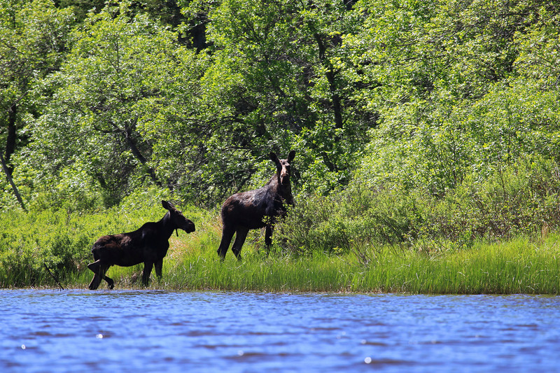 TUESDAY, JUNE 1, 2010<br /> <br /> MOOSE 9390<br /> <br /> A pair of Moose on the Pigeon River<br /> <br /> Camera: Canon EOS 5D Mark II<br /> Lens: Canon EF 100-400mm<br /> Focal length: 400mm<br /> Shutter speed: 1/400<br /> Aperture: f/7.1<br /> ISO: 200