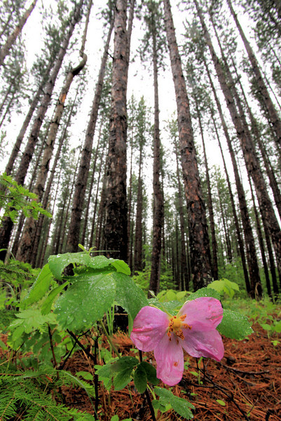 "SUNDAY, JUNE 13, 2010<br /> <br /> FOREST 9556<br /> <br /> ""Wild Rose and Pine Forest""<br /> <br /> The skies were gray today and there was a light rain coming down throughout the day. Perfect for getting under the forest canopy and making some images of wildflowers! <br /> <br /> Camera: Canon EOS 5D Mark II<br /> Lens: Canon EF 17-40mm<br /> Focal length: 17mm<br /> Shutter speed: 1/30<br /> Aperture: f/16<br /> ISO: 1000"