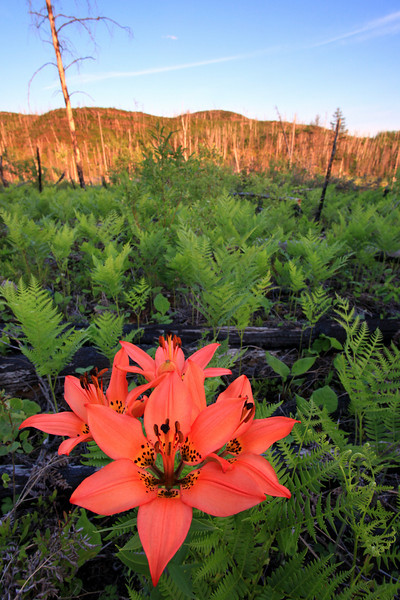 """WEDNESDAY, JUNE 9, 2010<br /> <br /> FOREST 9932<br /> <br /> """"Evening Wood Lily, Ham Lake Burn Area""""<br /> <br /> Camera: Canon EOS 5D Mark II<br /> Lens: Canon EF 17-40mm<br /> Focal length: 17mm<br /> Shutter speed: 1/15<br /> Aperture: f/16<br /> ISO: 400"""