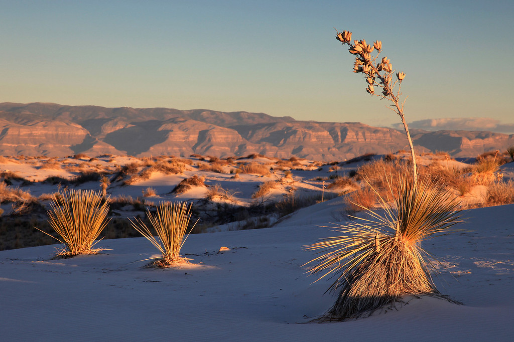 "FRIDAY, JANUARY 1, 2010<br /> <br /> NEW MEXICO 4817<br /> <br /> ""Sunset Yucca""<br /> <br /> After a bit more searching we found another spot in the dunes that was relatively untouched by foot traffic. We each looked for some nice Yucca plants that we could frame in our shots and soon the last of the sunlight was working its way up the length of the Yuccas. <br /> <br /> Camera: Canon EOS 5D Mark II<br /> Lens: Canon EF 24-105mm<br /> Focal length: 105mm<br /> Shutter speed: 1/25<br /> Aperture: f/16<br /> ISO: 100"