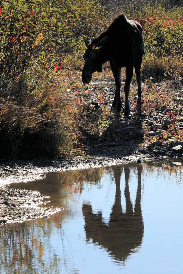 "MONDAY, OCTOBER 18, 2010<br /> <br /> MOOSE 2279<br /> <br /> ""Moose Reflection, Pigeon River""<br /> <br /> Camera: Canon EOS 5D Mark II<br /> Lens: Canon EF 100-400mm<br /> Focal length: 200mm<br /> Shutter speed: 1/640<br /> Aperture: f/16<br /> ISO: 800"