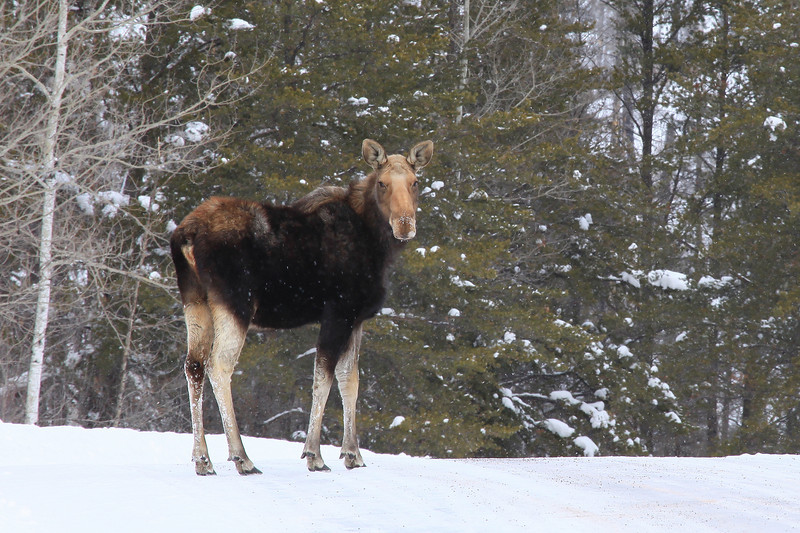 "WEDNESDAY, JANUARY 26, 2011<br /> <br /> MOOSE 4863<br /> <br /> ""Gunflint Trail Moose""<br /> <br /> Taken today just past the Seagull Guard Station near the end of the Gunflint Trail. Came around the corner and there was this Moose, standing right in the middle of the road. I pulled over to the side of the road, turned off the truck, and proceeded to watch this Moose for several minutes as it hung out on the road, keeping an eye on me and every now and then bending down to lick salt off the road. This was a nice bonus to an already terrific day!<br /> <br /> Camera: Canon EOS 5D Mark II<br /> Lens: Canon EF 100-400mm<br /> Focal length: 400mm<br /> Shutter speed: 1/80<br /> Aperture: f/16<br /> ISO: 400"