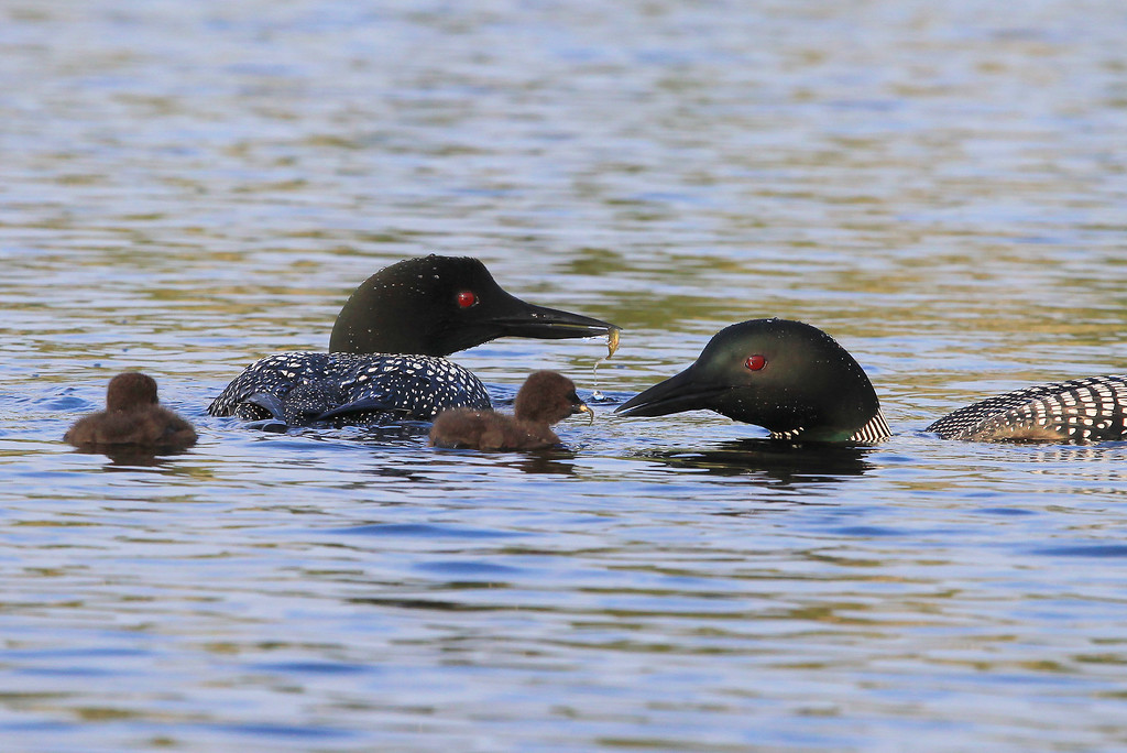 "TUESDAY, JULY 19, 2011<br /> <br /> LOON 0498<br /> <br /> ""Feeding the chicks""<br /> <br /> Camera: Canon EOS 5D Mark II<br /> Lens: Canon EF 100-400mm<br /> Focal length: 300mm<br /> Shutter speed: 1/800<br /> Aperture: f/11<br /> ISO: 800"