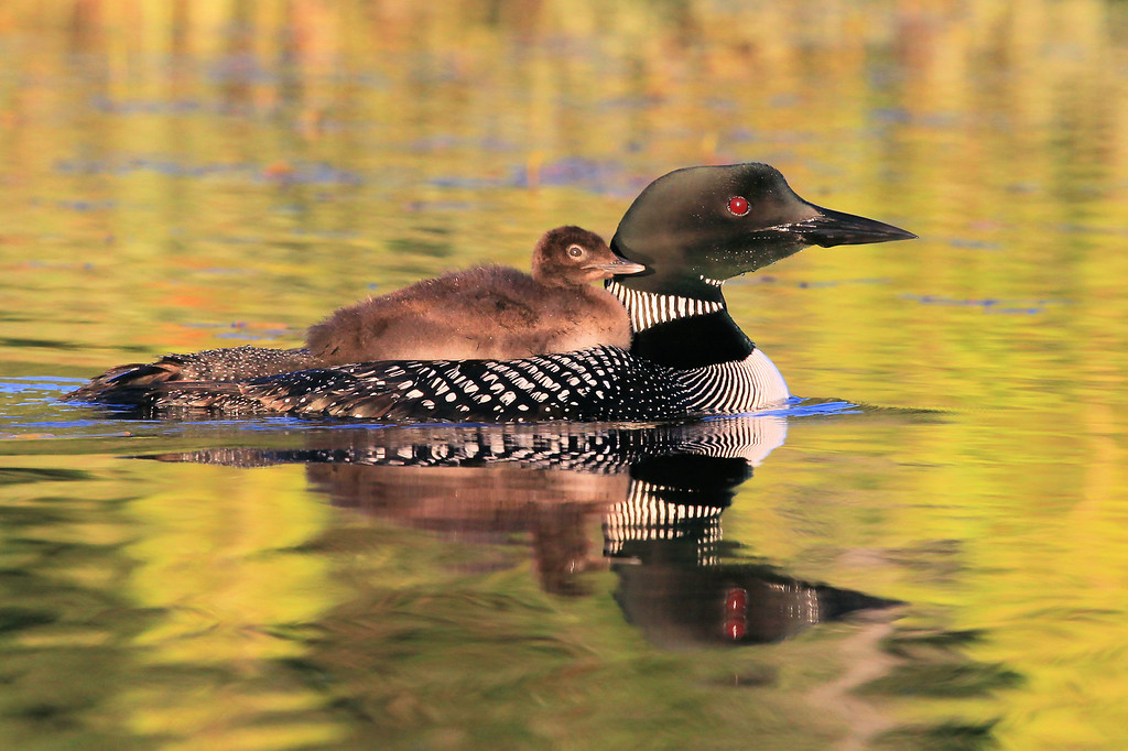 "WEDNESDAY, JULY 27, 2011<br /> <br /> LOON 1074<br /> <br /> ""Morning Ride""<br /> <br /> This Loon chick, just one day shy of being two weeks old, is already twice the size it was a week ago.<br /> <br /> Camera: Canon EOS 5D Mark II<br /> Lens: Canon EF 100-400mm<br /> Focal length: 400mm<br /> Shutter speed: 1/640<br /> Aperture: f/10<br /> ISO: 1000"