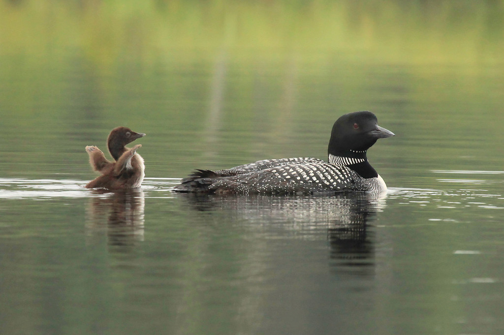 "WEDNESDAY, JULY 27, 2011<br /> <br /> LOON 0870<br /> <br /> ""I can stretch my wings just like Mom and Dad!""<br /> <br /> This evening I made it back up to visit the Loons for the first time since the morning of July 19th. The chicks have grown quite a bit in that time! Their diving times have gone from lasting only 2 or 3 seconds to about 20 seconds. They also seem to be stretching their wings a bit more than a week ago. This is hands-down my favorite image of the evening!<br /> <br /> Camera: Canon EOS 5D Mark II<br /> Lens: Canon EF 100-400mm<br /> Focal length: 380mm<br /> Shutter speed: 1/250<br /> Aperture: f/10<br /> ISO: 1600"