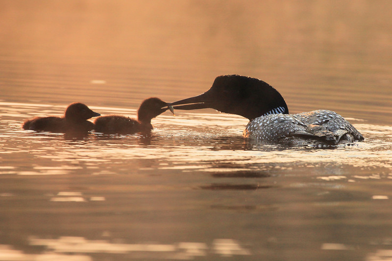 "TUESDAY, JULY 19, 2011<br /> <br /> LOON 0635<br /> <br /> ""Breakfast for the babies""<br /> <br /> Camera: Canon EOS 5D Mark II<br /> Lens: Canon EF 100-400mm<br /> Focal length: 400mm<br /> Shutter speed: 1/800<br /> Aperture: f/10<br /> ISO: 1000"