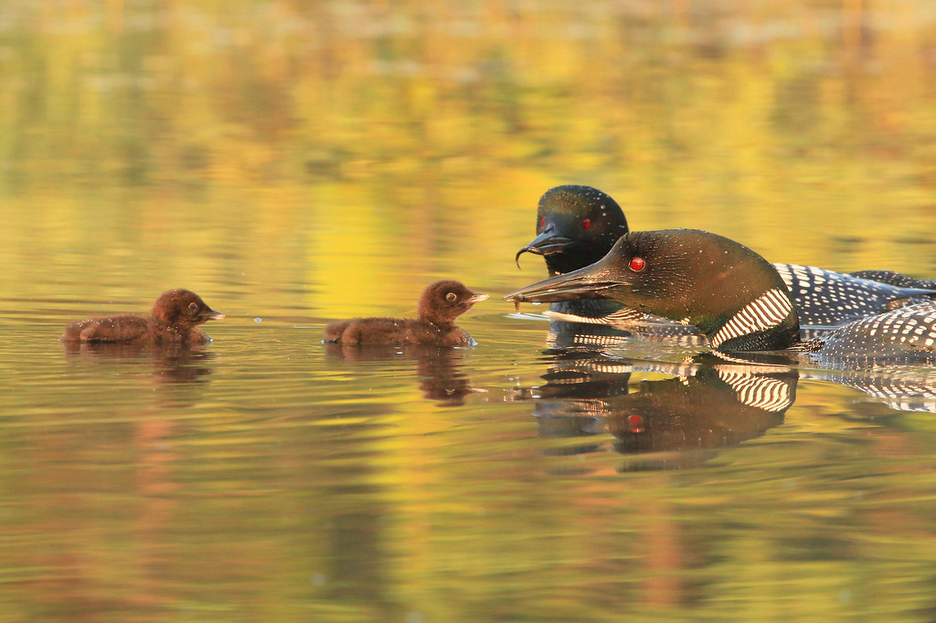 "TUESDAY, JULY 19, 2011<br /> <br /> LOON 0724<br /> <br /> ""We have TWO fish, one for each of you!""<br /> <br /> When I returned the next day the other baby had been born and the Loon family was already off the nest and out in the middle of the lake. This was when things got really interesting! Since the 14th I haven't quite been making daily trips to the lake, but almost. Watching the adults interact with their chicks out on the lake has been the most interesting wildlife experience I think I've ever had. It is amazing the care that is given to the chicks by the adults. Most of the time during their first week of life the chicks ride on the backs of the parents. This is done mostly for protection from predators, but also because the chicks get tired easily and need to rest. Now that the chicks are already almost two weeks old they are diving on their own (although their dives only last for a few seconds), they are learning to preen themselves, and soon they will be catching their own food, which consists mostly of minnows (small fish). <br /> <br /> Camera: Canon EOS 5D Mark II<br /> Lens: Canon EF 100-400mm<br /> Focal length: 350mm<br /> Shutter speed: 1/250<br /> Aperture: f/10<br /> ISO: 1000"