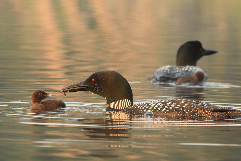 """TUESDAY, JULY 19, 2011<br /> <br /> LOON 0698<br /> <br /> """"Morning Feeding""""<br /> <br /> Camera: Canon EOS 5D Mark II<br /> Lens: Canon EF 100-400mm<br /> Focal length: 350mm<br /> Shutter speed: 1/250<br /> Aperture: f/10<br /> ISO: 1000"""