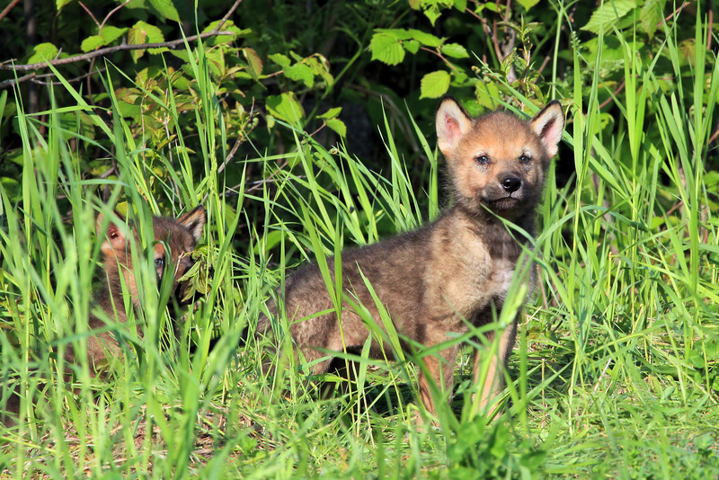 "WEDNESDAY, JUNE 8, 2011<br /> <br /> WOLVES 0861<br /> <br /> ""Wolf Pups""<br /> <br /> Shoe Lake Road - Cook County, MN. I saw these cute little fellows while driving home from the Gunflint Trail yesterday. Came around a corner on Shoe Lake Road and there they were, sitting just a few feet off the road. I watched them for a couple of minutes before they wandered back off into the woods.<br /> <br /> Camera: Canon EOS 5D Mark II<br /> Lens: Canon EF 100-400mm<br /> Focal length: 400mm<br /> Shutter speed: 1/250<br /> Aperture: f/16<br /> ISO: 800"