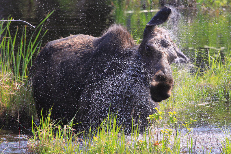 """TUESDAY, JUNE 7, 2011<br /> <br /> MOOSE 0822<br /> <br /> """"Shake it off!""""<br /> <br /> A cow Moose shakes water from its body after digging in the water for some plants to eat along the Gunflint Trail in Northeast Minnesota.<br /> <br /> Camera: Canon EOS 5D Mark II<br /> Lens: Canon EF 100-400mm<br /> Focal length: 400mm<br /> Shutter speed: 1/640<br /> Aperture: f/8<br /> ISO: 400"""