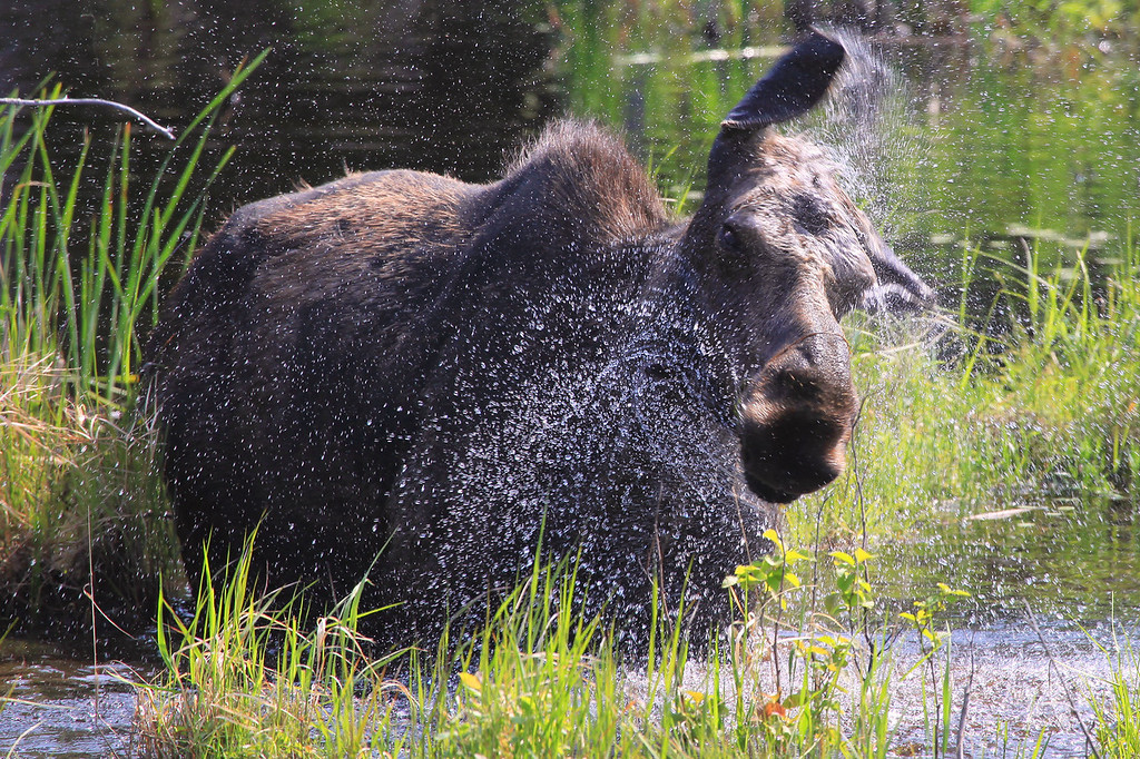 "TUESDAY, JUNE 7, 2011<br /> <br /> MOOSE 0822<br /> <br /> ""Shake it off!""<br /> <br /> A cow Moose shakes water from its body after digging in the water for some plants to eat along the Gunflint Trail in Northeast Minnesota.<br /> <br /> Camera: Canon EOS 5D Mark II<br /> Lens: Canon EF 100-400mm<br /> Focal length: 400mm<br /> Shutter speed: 1/640<br /> Aperture: f/8<br /> ISO: 400"