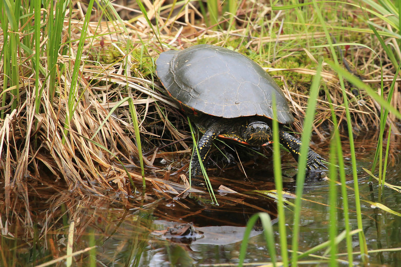 "SATURDAY, JUNE 11, 2011<br /> <br /> ANIMALS BY LAND 0899<br /> <br /> ""Painted Turtle""<br /> <br /> A surprise yesterday while driving past a small pond, I happened to catch a glimpse of this small Painted Turtle in the corner of my eye. I backed up and watched him for a while, but when I opened the door of my truck he didn't like that and moved towards the water. I snapped this shot just before he slipped beneath the surface.<br /> <br /> Camera: Canon EOS 5D Mark II<br /> Lens: Canon EF 100-400mm<br /> Focal length: 400mm<br /> Shutter speed: 1/400<br /> Aperture: f/7.1<br /> ISO: 800"