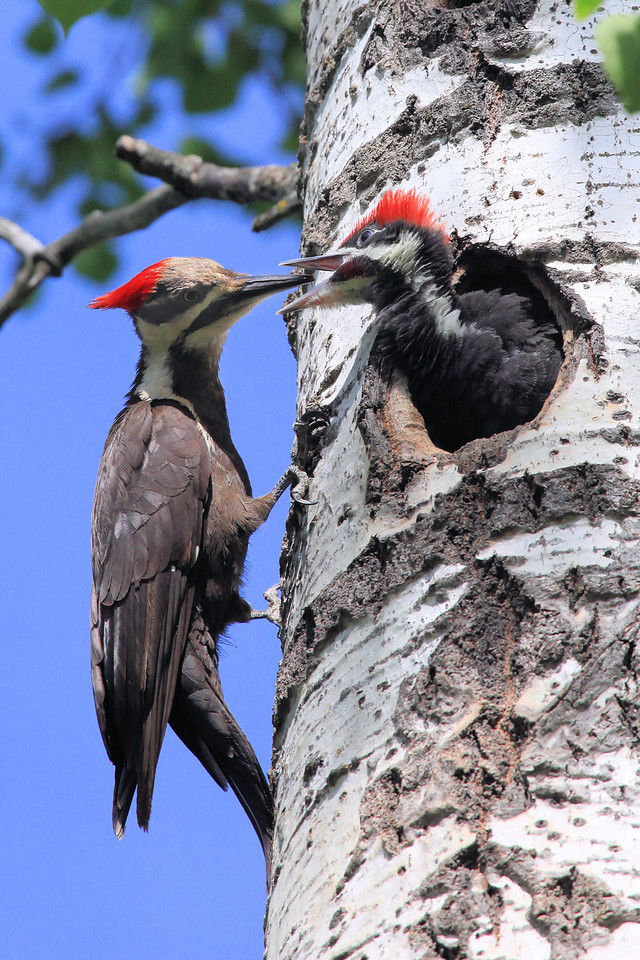 "THURSDAY, JUNE 30, 2011<br /> <br /> ANIMALS BY AIR 8888<br /> <br /> ""Feeding the young - Pileated Woodpeckers""<br /> <br /> Camera: Canon EOS 5D Mark II<br /> Lens: Canon EF 100-400mm<br /> Focal length: 400mm<br /> Shutter speed: 1/1600<br /> Aperture: f/10<br /> ISO: 1000"