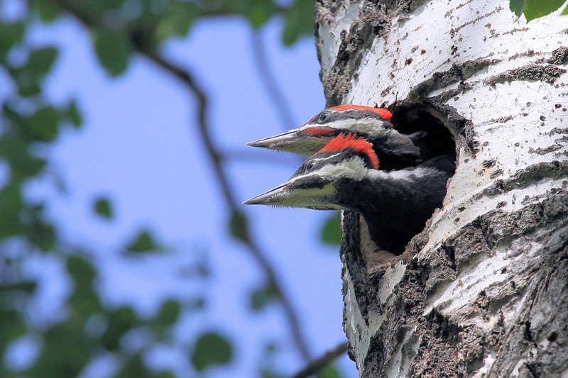 "THURSDAY, JUNE 30, 2011<br /> <br /> ANIMALS BY AIR 8800<br /> <br /> ""Young Pileated Woodpeckers""<br /> <br /> Camera: Canon EOS 5D Mark II<br /> Lens: Canon EF 100-400mm<br /> Focal length: 400mm<br /> Shutter speed: 1/1000<br /> Aperture: f/10<br /> ISO: 800"