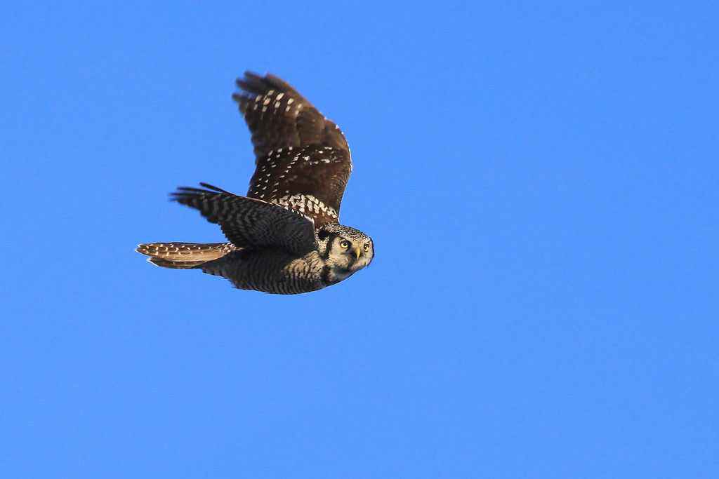 "THURSDAY, MARCH 10, 2011<br /> <br /> ANIMALS BY AIR 6213<br /> <br /> ""Northern Hawk Owl in Flight""<br /> <br /> Here is another shot of the same owl, this time in flight.<br /> <br /> Camera: Canon EOS 5D Mark II<br /> Lens: Canon EF 100-400mm<br /> Focal length: 400mm<br /> Shutter speed: 1/800<br /> Aperture: f/10<br /> ISO: 400"