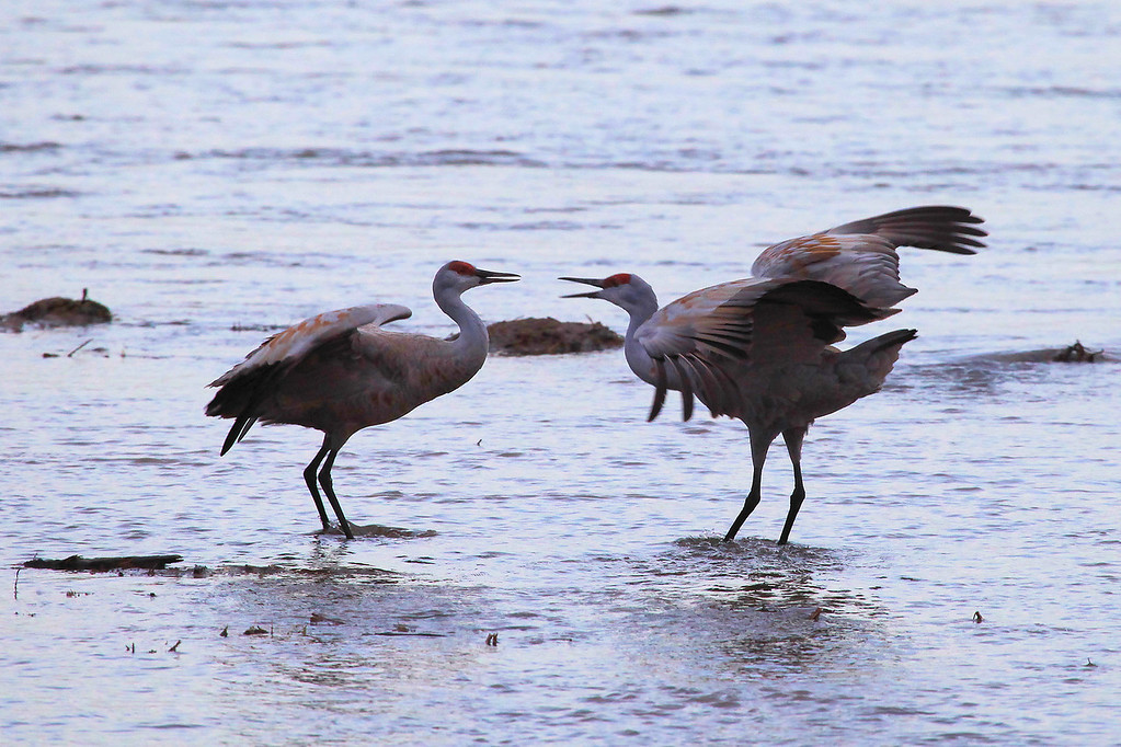 "SATURDAY, MARCH 19, 2011<br /> <br /> NEBRASKA 7052<br /> <br /> ""Dancing Cranes""<br /> <br /> Here are a couple of shots from this morning on the Platte River in Central Nebraska. We saw a LOT of cranes this morning, but the lighting was a bit of a challenge. We never did get any nice sunlight, but we saw a lot of incredible crane activity. When we first arrived at the blind the birds were very quiet. Most of them had their heads tucked under and were asleep. Before too long, though, they started waking up one by one and soon their chattering was quite loud. As they wake up they also start to hop and dance around quite a bit. Some of the dancing is to try and impress their mates or potential mates, and some of it is done to warm up before they take their first flight of the day. It was an unforgettable morning and we are hoping that the birds repeat their patterns and performances again tonight and tomorrow morning.<br /> <br /> Camera: Canon EOS 5D Mark II<br /> Lens: Canon EF 100-400mm<br /> Focal length: 400mm<br /> Shutter speed: 1/320<br /> Aperture: f/8<br /> ISO: 1600"