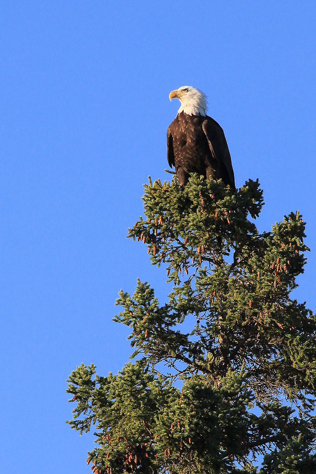"""MONDAY, SEPTEMBER 5, 2011<br /> <br /> BALD EAGLE 1999<br /> <br /> """"Bald Eagle in afternoon sun""""<br /> <br /> I just get home from work<br /> <br /> and what do I see...<br /> <br /> An Eagle in a tree<br /> <br /> and he's lookin' at me!<br /> <br /> Camera: Canon EOS 5D Mark II<br /> Lens: Canon EF 100-400mm<br /> Focal length: 400mm<br /> Shutter speed: 1/1000<br /> Aperture: f/11<br /> ISO: 800"""