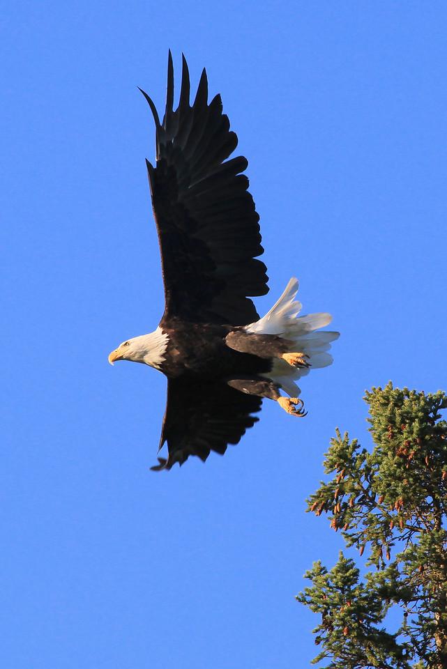 """MONDAY, SEPTEMBER 5, 2011<br /> <br /> BALD EAGLE 2001<br /> <br /> """"Bald Eagle taking off""""<br /> <br /> Camera: Canon EOS 5D Mark II<br /> Lens: Canon EF 100-400mm<br /> Focal length: 400mm<br /> Shutter speed: 1/1000<br /> Aperture: f/11<br /> ISO: 800"""