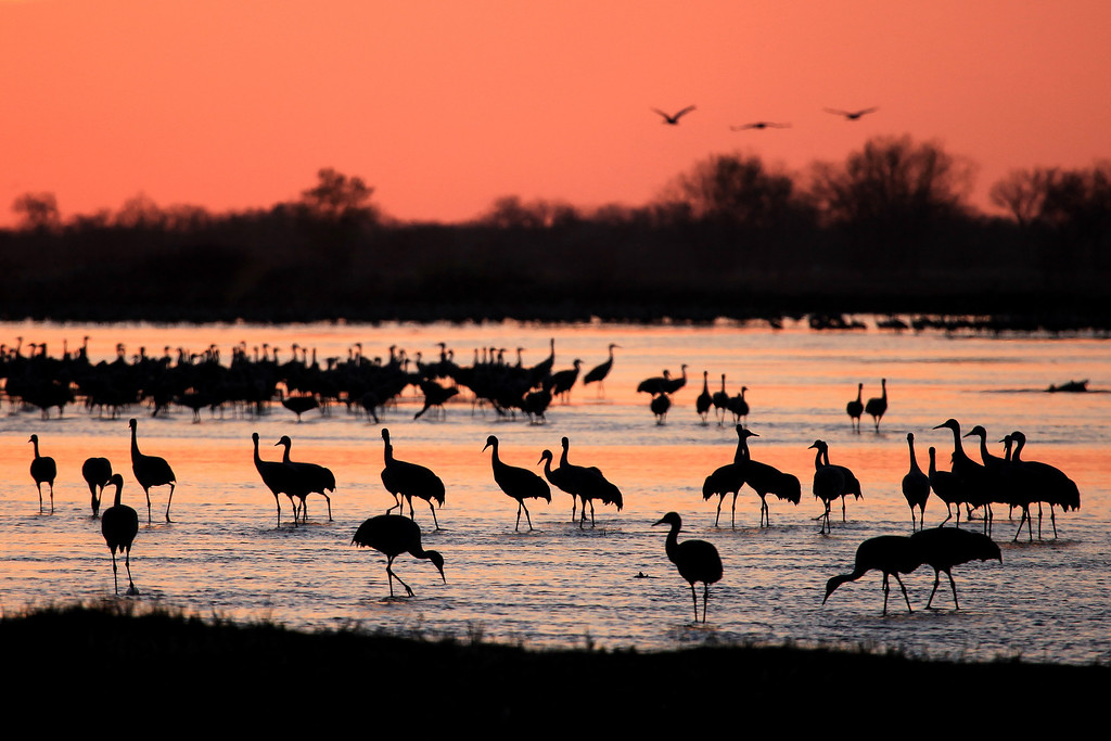 "SUNDAY, APRIL 1, 2012<br /> <br /> NEBRASKA 6040<br /> <br /> ""Gathering of Cranes at dusk on the Platte River""<br /> <br /> We had some beautiful light in Nebraska this year, which made up for the gray skies that dominated our trip last year.  The photo below is one of my favorite post-sunset shots from this year.  After the sun goes down the sky glows for several minutes and the river reflects that glow.  It was during this time that this photo was made. <br /> <br /> Camera: Canon EOS 5D Mark II<br /> Lens: Canon EF 100-400mm<br /> Focal length: 400mm<br /> Shutter speed: 1/320<br /> Aperture: f/6.3<br /> ISO: 400"