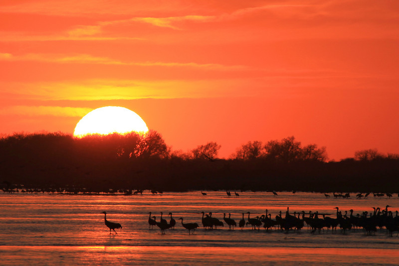 "SUNDAY, APRIL 1, 2012<br /> <br /> NEBRASKA 6033<br /> <br /> ""Sandhill Crane Sunset over the Platte River""<br /> <br /> We had a great time this year photographing the cranes in Nebraska.  The conditions were much more favorable for photography than they were last year.  Last year the river's water level was too high which meant the birds were roosting farther away from the blinds than usual, and we had very little good light.  This year was different.  We had awesome sunset and sunrise light and the water level was lower which meant more sand bars and more places for the birds to roost.  The photo below could very well be my favorite shot from this year's trip.  I almost couldn't believe it when I saw that one crane start walking to the left.  I thought ""No way!  He's gonna walk right through the sun's reflection on the water!""  Sure enough, he did... and provided me with an awesome photo to share! <br /> <br /> Camera: Canon EOS 5D Mark II<br /> Lens: Canon EF 100-400mm<br /> Focal length: 400mm<br /> Shutter speed: 1/1000<br /> Aperture: f/11<br /> ISO: 400"