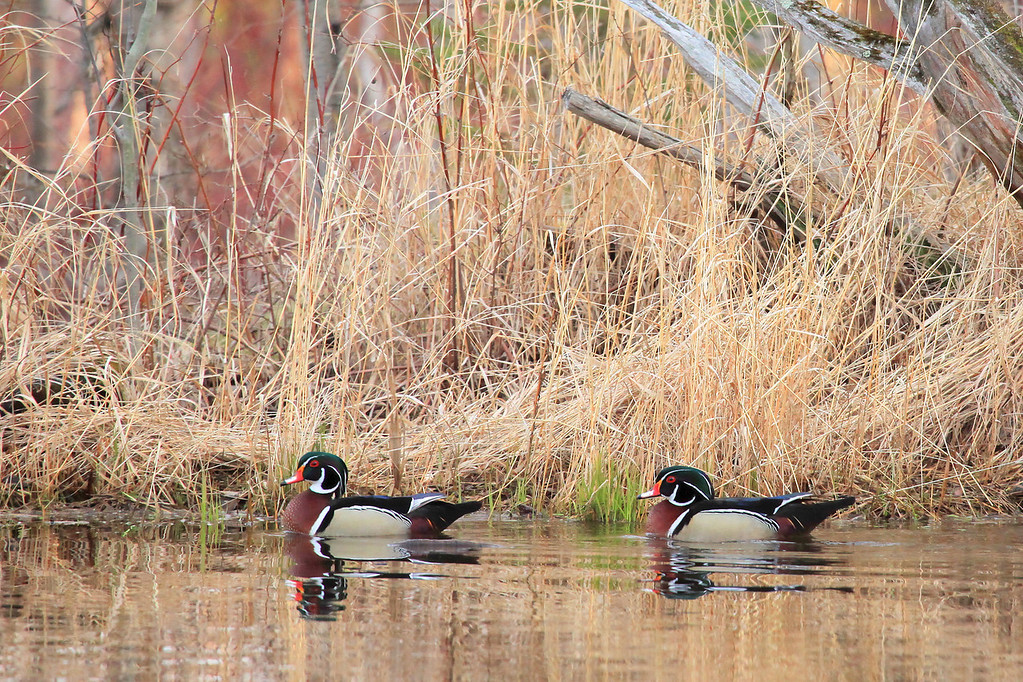 "THURSDAY, APRIL 19, 2012<br /> <br /> ANIMALS BY AIR 6690<br /> <br /> ""Wood Ducks on spring pond""<br /> <br /> This evening Jessica and I went to a friend's house to use his photography blind in hopes of seeing the Wood Ducks on his pond.  We were told that each day there were anywhere from two to sixteen ducks using the pond.  We went into the blind at 5:30 PM and the first pair of Woodies landed at 6:00.  They were only on the pond for about 20 to 30 seconds, then they walked up into the woods on the opposite side of the pond from us.  We didn't see any more ducks until 7:00 PM, when a group of 4 more landed.  When they flew over the blind we could hear the ""whooooooosh"" or air under their wings.  5 minutes or so later a few more landed.  Ultimately we ended up seeing a total of 9 Wood Ducks and 4 Mallards.  We also saw the resident Muskrat swim back and forth across the pond several times.  Oh, and there was a Ruffed Grouse drumming throughout the evening in the nearby woods. We left the blind at 7:30 PM, just as the spring peeper frogs were starting to sing.  It was an unforgettable spring evening in the Minnesota Northwoods!<br /> <br /> Camera: Canon EOS 5D Mark II<br /> Lens: Canon EF 100-400mm<br /> Focal length: 400mm<br /> Shutter speed: 1/320<br /> Aperture: f/6.3<br /> ISO: 1600"